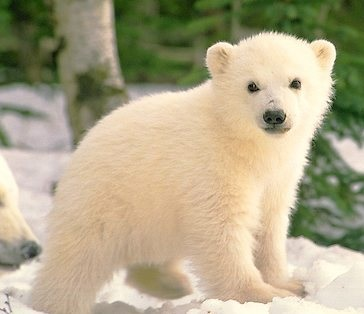 This polar cub is doing his PhD in Ironic Process Theory